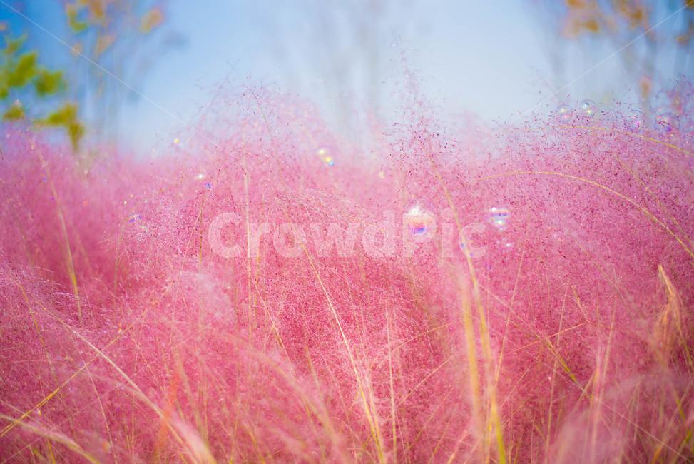 핑크뮬리, 꽃, 분홍꽃, 갈대, 핑크갈대