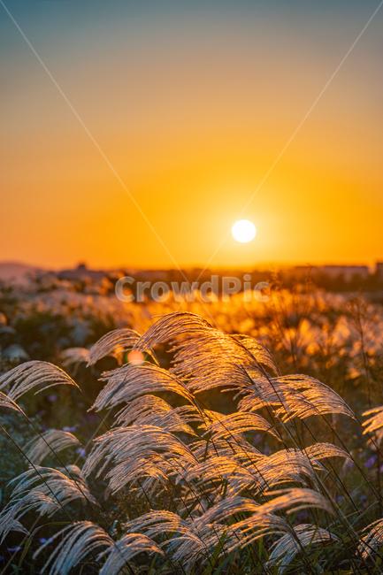 억새, flamegrass, silvergrass, 일몰, sunset