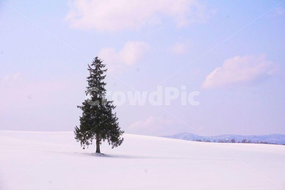 tree, 나무, 식물, 크리스마스나무, 삿포로
