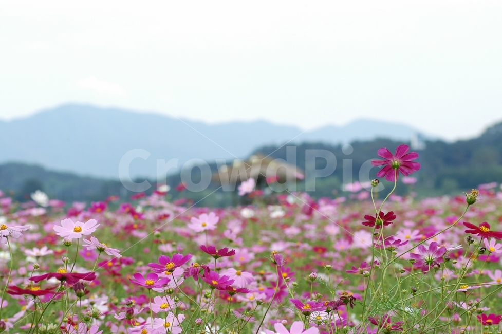 코스모스, 꽃, 코스모스꽃, 가을, 가을꽃