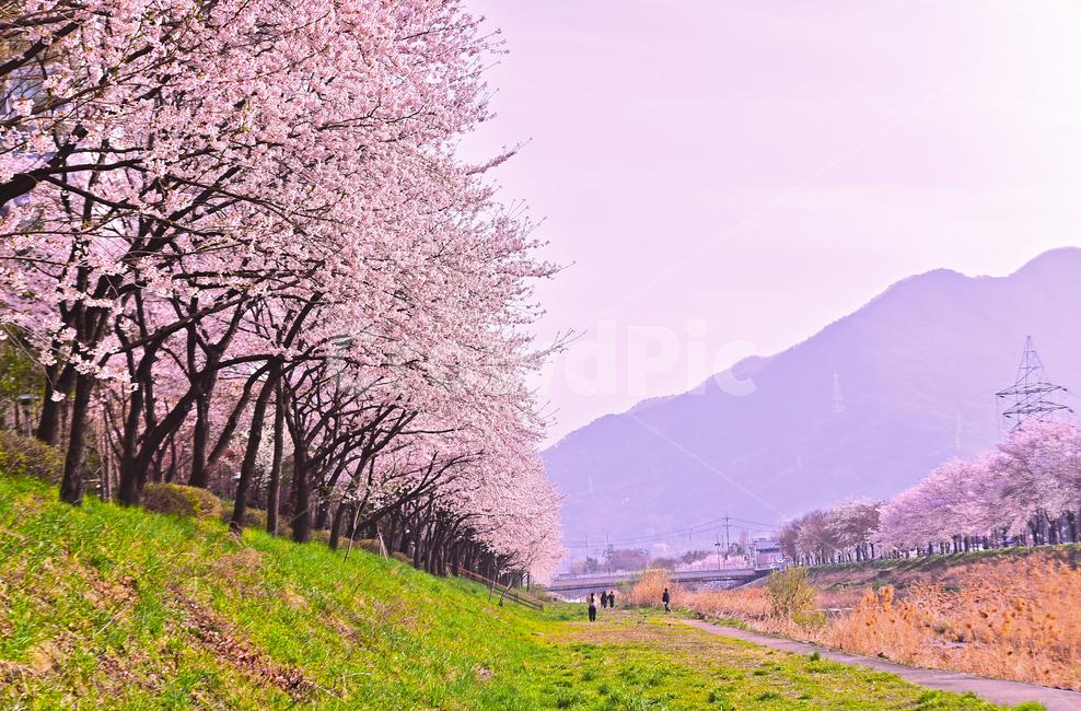 벚꽃, 봄꽃, 봄풍경, 분홍색꽃, 벚꽃길