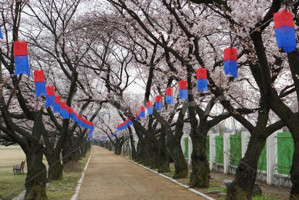벚꽃, 길, 봄, 꽃길, 나무