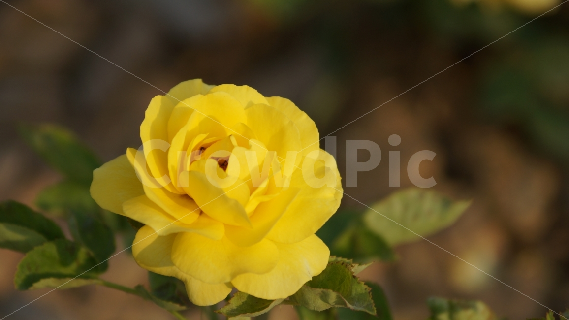 장미, 노란장미, 장미공원, 꽃, 꽃사진