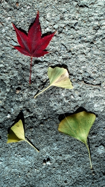 나뭇잎, 자연, 단풍잎, 은행잎, 은행나무