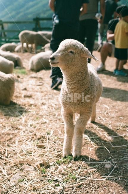 양, 아기양, 순한양, 양털, 목장