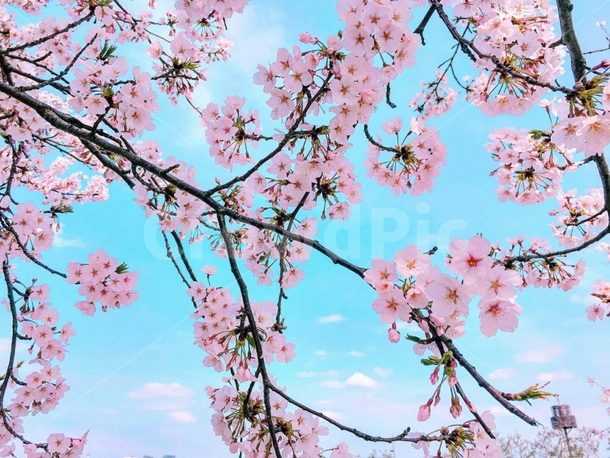 한국, 여의도, 한강공원, 봄, 4월