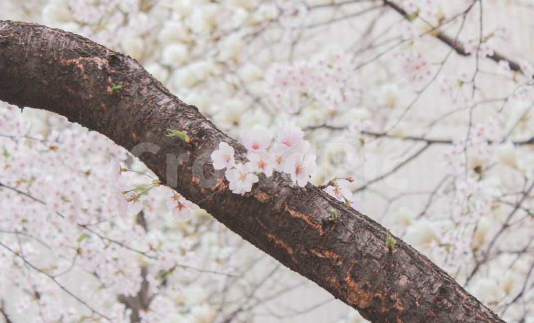 벚꽃, 꽃, 봄, flower, picnic