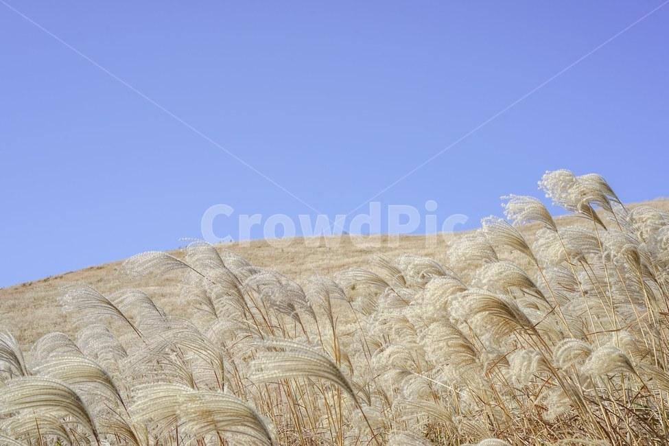 억새, 가을, 제주도, 억새밭, fall
