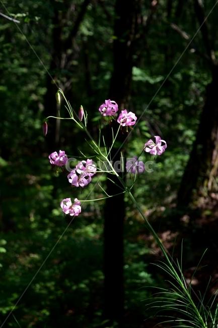 솔나리, 야생화, 꽃, 생태, 식물