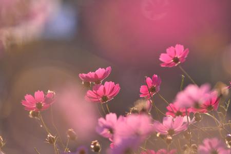 가을-가을배경-감성사진-코스모스-가을꽃