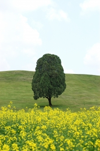 유채꽃-나무-향나무-언덕-초원