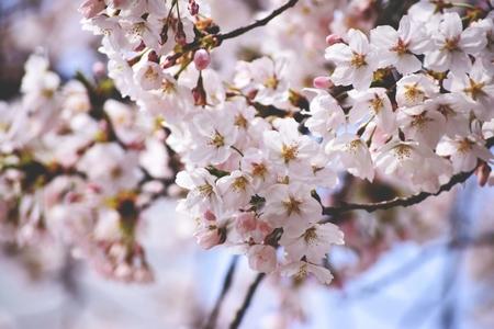 봄-벚꽃-꽃-핑크-분홍