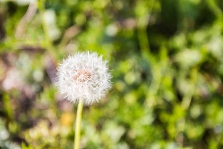 민들래-풍경-씨앗-봄-길거리