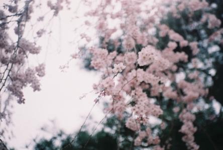 식물-벚꽃-꽃-꽃사진-장성카메라
