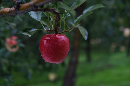 대한민국-문경-과일-사과-빨강색