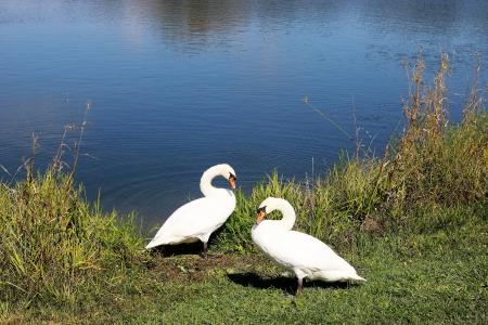 호수-백조-공원-동물-조류