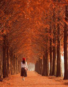 메타세콰이어-메타세콰이어길-가을-단풍-나무