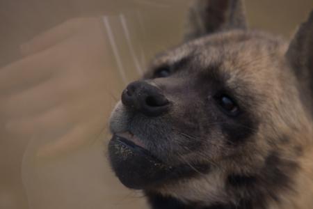 동물-감성-감성사진-하이애나-그리움