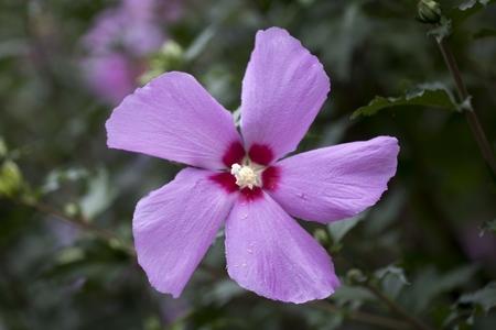 무궁화-꽃-봉오리-식물-나라꽃