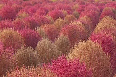 댑싸리-핑크뮬리-하늘공원-봄풍경-가을풍경