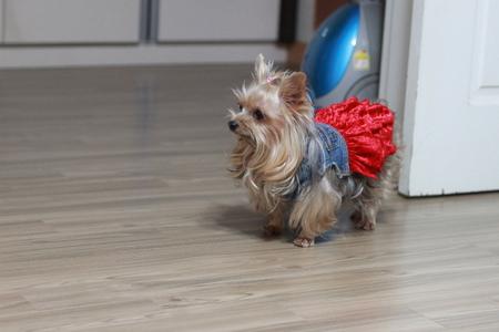 요크셔테리어-요키-강아지-애완견-반려견
