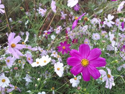 꽃-코스모스-가을-꽃밭-cosmos