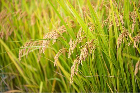 벼-쌀-고향-시골-한국