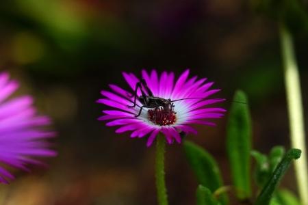 리빙스턴데이지-꽃-플라워-식물-자연