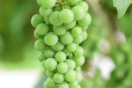 grapes-포도-포도알-포도송이-청포도