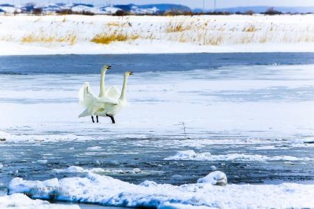 일본-홋카이도-백조-굿샤로호수-자연풍경