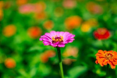 백일홍-꽃-황룡강-접사-아웃포커싱