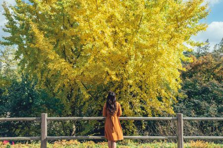 은행나무-은행잎-은행-가을-단풍
