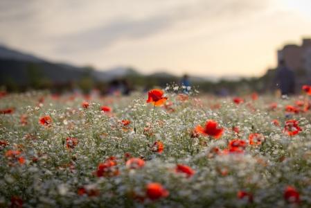한국-울산-태화강-양귀비-꽃