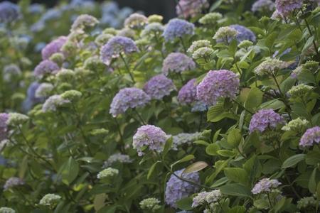 수국-꽃봉오리-식물-꽃-꽃밭