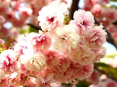 봄-flower-겹벚꽃-벚꽃-봄사진