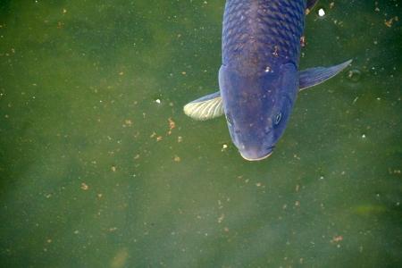 잉어-물고기-생선-어류-fish