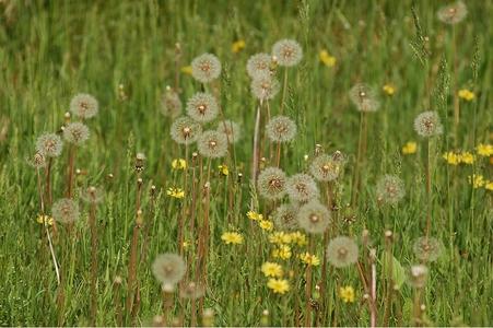 자연-봄-꽃-봄꽃-민들레