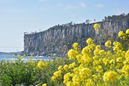 박수기정-봄-유채꽃-봄꽃-노란꽃