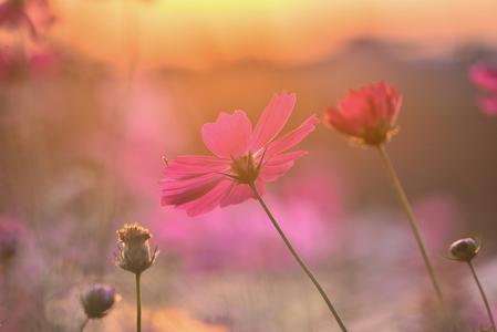 코스모스-감성사진-가을꽃-가을배경-야생화