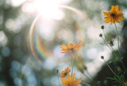 코스모스-황화코스모스-cosmos-꽃-flower