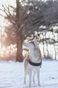 반려견-허스키-눈-겨울-개