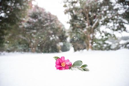 동백-동백꽃-겨울풍경-겨울사진-꽃사진