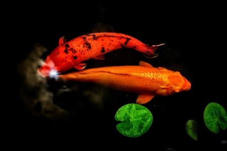 연못-잉어-물고기-연꽃잎-민물고기