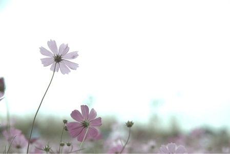 cosmos-가을-외로움-코스모스-쓸쓸함