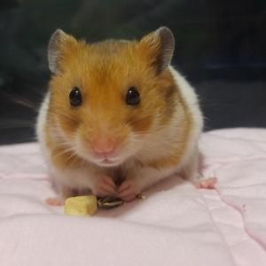 햄스터-골든햄스터-반려동물-애완동물-hamster