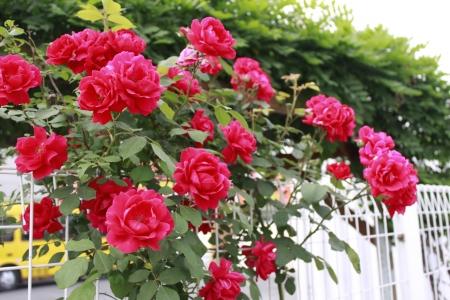 장미-장미울타리-꽃-식물-풍경
