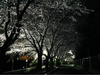 봄-벚꽃-밤-풍경-spring