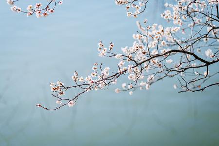 매화-물가-나무-봄-호수