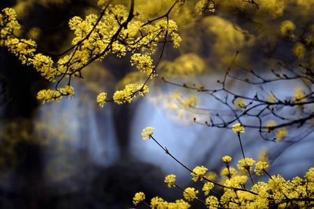 산슈유-봄-노랑-축제-감성