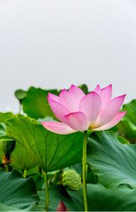 연꽃-연잎-청순-무늬-문양